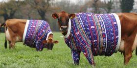 Органическая корова